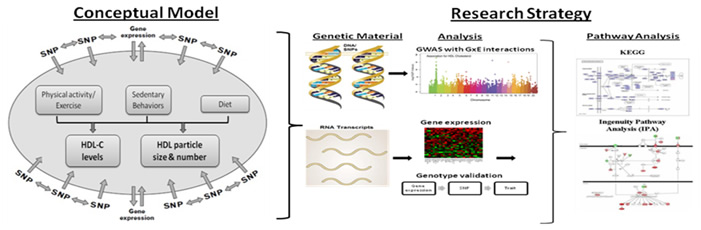 Unraveling Gene Environment Interaction >> Pennington Biomedical Center For Biomedical Research Excellence Cobre
